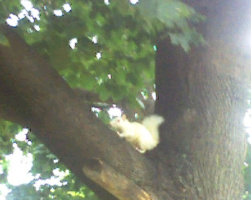 albino-squirrel.jpg